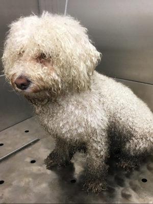 Dog Before Grooming
